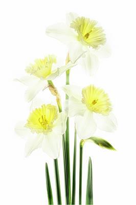 Photograph - Beauty Of Daffodils by Usha Peddamatham