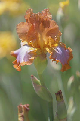 Photograph - Beauty Of Irises. Afternoon Delight 1 by Jenny Rainbow