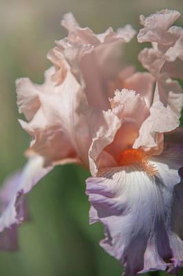 Photograph - Beauty Of Irises. Celebration Song by Jenny Rainbow