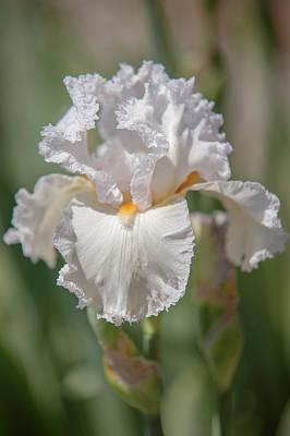 Photograph - Beauty Of Irises. Christmas by Jenny Rainbow