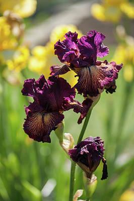 Photograph - Beauty Of Irises. Drama Queen by Jenny Rainbow