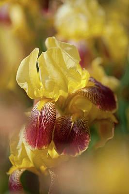 Photograph - Beauty Of Irises. 'iris King by Jenny Rainbow