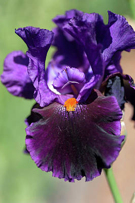 Photograph - Beauty Of Irises.  Local Color by Jenny Rainbow