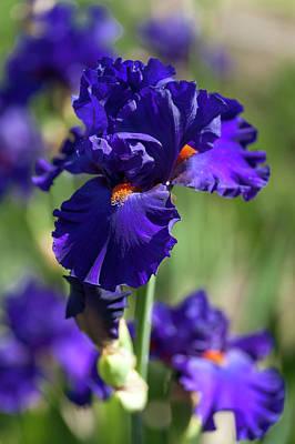 Photograph - Beauty Of Irises. Paul Black by Jenny Rainbow