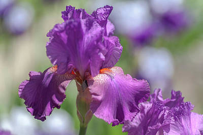 Photograph - Beauty Of Irises. Raspberry Ripples 3 by Jenny Rainbow