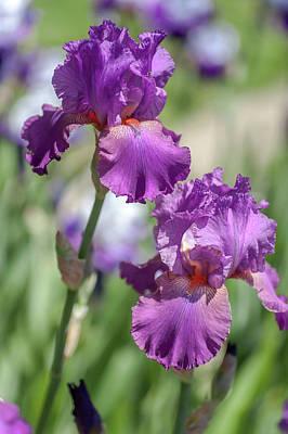 Photograph - Beauty Of Irises. Raspberry Ripples 4 by Jenny Rainbow