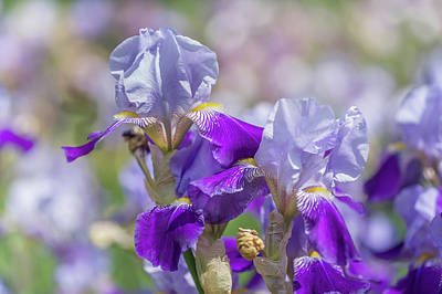 Photograph - Beauty Of Irises. Rheintraube by Jenny Rainbow
