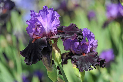 Photograph - Beauty Of Irises. Romantic Evening by Jenny Rainbow