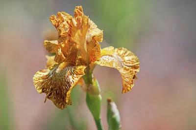Photograph - Beauty Of Irises. Tiger Honey 1 by Jenny Rainbow