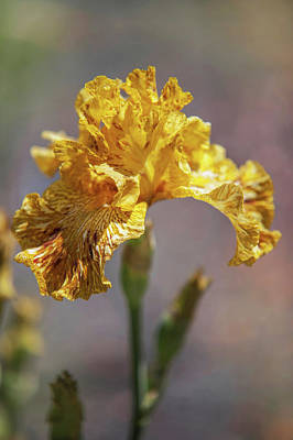 Photograph - Beauty Of Irises. Tiger Honey by Jenny Rainbow