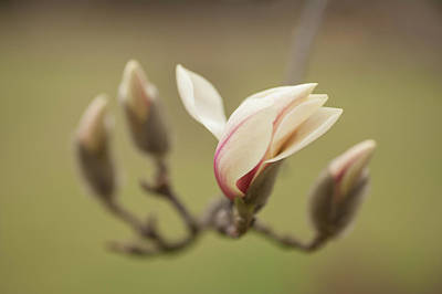 Photograph - Beauty Of Zen Magnolia by Jenny Rainbow
