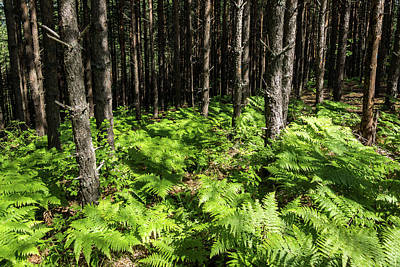 Photograph - Because It's Summer - Sun Dappled Ferns And Pine Trees by Georgia Mizuleva