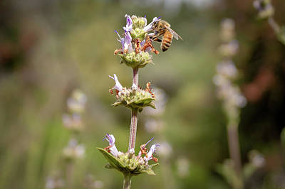 Photograph - Bee In Action by Alison Frank