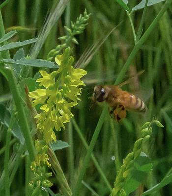 Photograph - Bee In Flight by Lora J Wilson