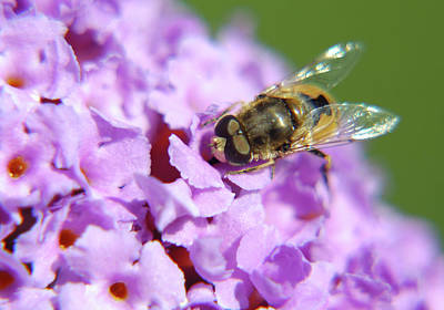 Jonny Jelinek Royalty-Free and Rights-Managed Images - Hoverfly On A Purple Flower by Jonny Jelinek