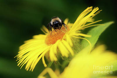Photograph - Bee On A Yellow Flower by Terri Waters