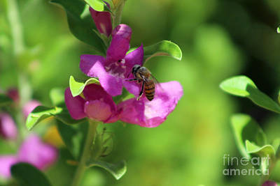 Photograph - Bee On Royal Purple Texas Ranger Flower by Colleen Cornelius