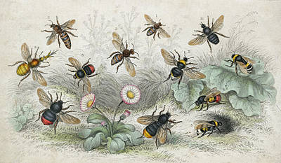 Bees In Colour Art Print by Hulton Archive