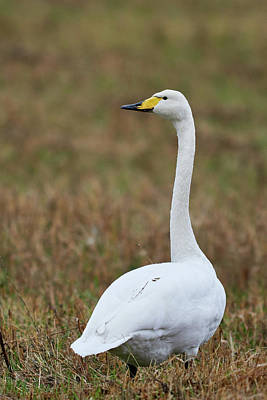 Food And Flowers Still Life Rights Managed Images - Before the whoop. Whooper swan Royalty-Free Image by Jouko Lehto