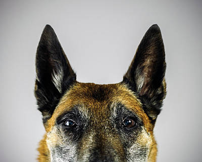 Belgian Sheperd Malinois Dog Looking At Art Print by Joan Vicent Cantó Roig