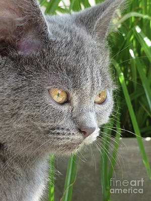 Chartreux Wall Art - Photograph - Beloved Chartreux Kitten by Elisabeth Lucas