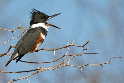 Photograph - Belted Kingfisher 4583-021619 by Tam Ryan