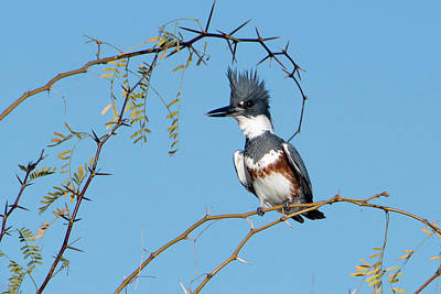 Photograph - Belted Kingfisher 9296-123018-1 by Tam Ryan