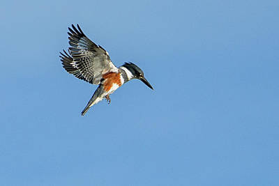 Photograph - Belted Kingfisher Female 1145-011719 by Tam Ryan