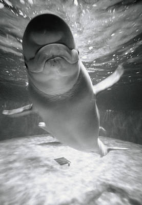 Photograph - Beluga Whale Swimming In Water by Henry Horenstein