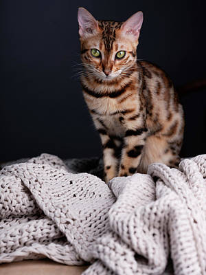 On Trend Light And Airy Royalty Free Images - Bengal Cat Portrait Royalty-Free Image by Nailia Schwarz