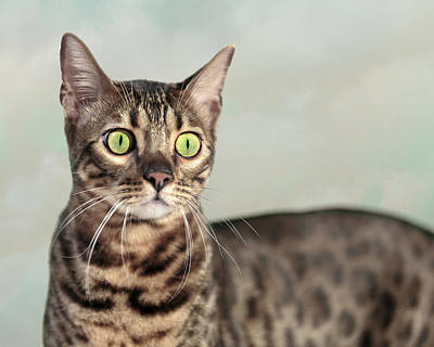 Photograph - Bengal Cat Portrait by Wes and Dotty Weber