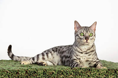 Photograph - Bengal Photoshoot by Wes and Dotty Weber