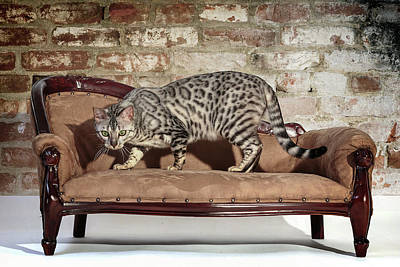 Photograph - Bengal Ready To Pounce by Wes and Dotty Weber