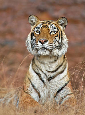 Lying Down Photograph - Bengal Tiger Panthera Tigris by Andy Rouse