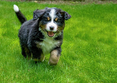 Royalty-Free and Rights-Managed Images - Bernese Mountain Dog Puppy Running 2 by Pelo Blanco Photo