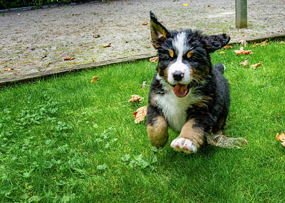 Royalty-Free and Rights-Managed Images - Bernese Mountain Dog Puppy Running by Pelo Blanco Photo