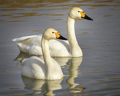 Photograph - Bewick's Swans Zhangye Wetland Park Gansu China by Adam Rainoff