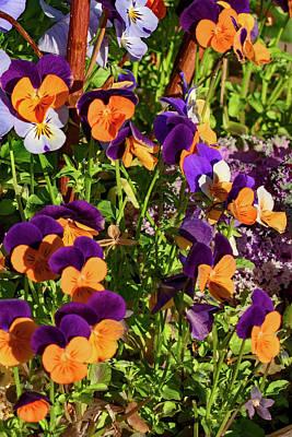 Venice Beach Bungalow - Bicolor Pansies - Viola Wittrockiana by Paul Thompson