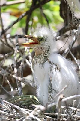 Photograph - Big Baby Great Egret by Carol Groenen