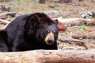 Photograph - Big Black Bear, Arizona by Dawn Richards