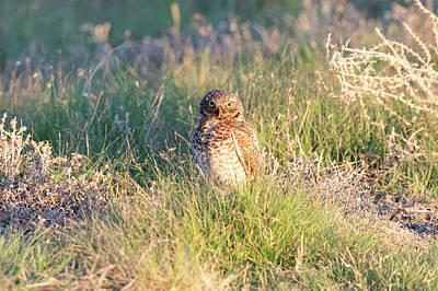 The Beatles - Big Eyed Burrowing Owl by Tony Hake