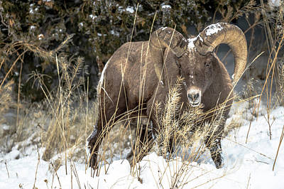Photograph - Big horn Ram by Russell Cody