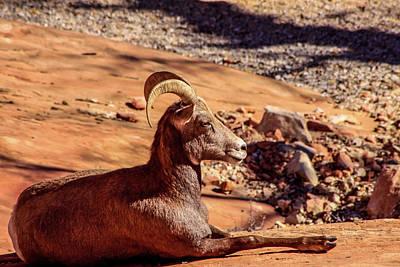 Photograph - Big Horn Sheep 1, Zion by Dawn Richards