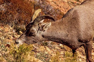 Photograph - Big Horn Sheep 2, Zion by Dawn Richards