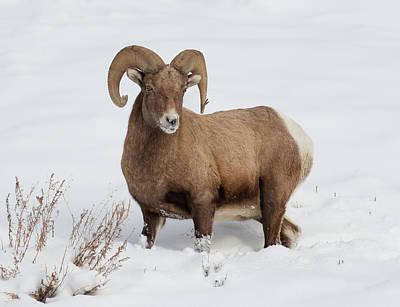 Wall Art - Photograph - Big Horn Sheep Ram With A Snowy Nose by Martin Belan