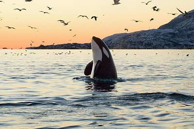 Organism Wall Art - Photograph - Big Orca Sunset Spyhop by Sethakan