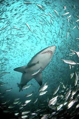 Photograph - Big Raggie Swims Through Baitfish Shoal by Jean Tresfon