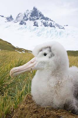 Photograph - Big Wandering Albatross Chick On Nest by Eastcott Momatiuk