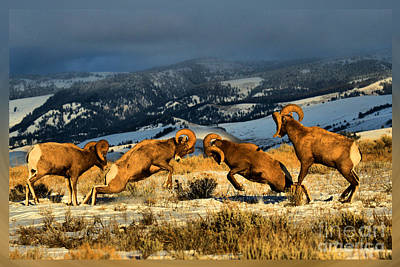Photograph - Bighorn Brawlers T-shirt by Adam Jewell