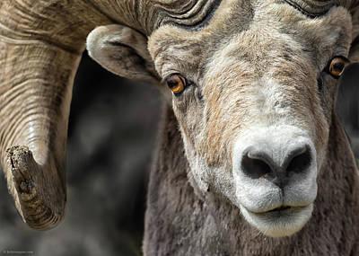 Photograph - Bighorn Gaze by Britt Runyon